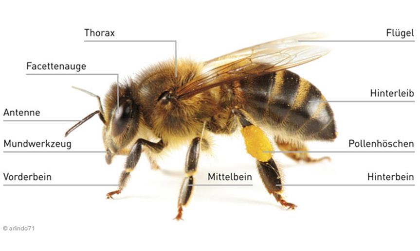 Bildergebnis für Aufbau einer Biene