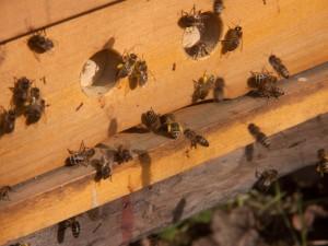 8. März 2014: An diesem warmen Tag herrscht ein sehr reger Flugbetrieb. Die heimkehrenden Bienen haben an den Beinen gelbe Flecken, die Pollenhöschen.