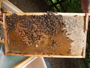 Ableger. Links in der Mitte ist das verdeckelte Brutnest zu erkennen. An seinem unteren Rand hängt eine Weiselzelle. Um die Brut lagert sich der Futterkranz aus Nektar an, am rechten Rahmenrand ist verdeckelter Honig.