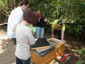 Völkerkontrolle durch die Neu-Imkergruppe: Einblicknahme in einen Ableger eines Bienenvolkes