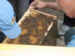 public bee-keeping: Besucher schauen in die ausgebauten Waben hinein