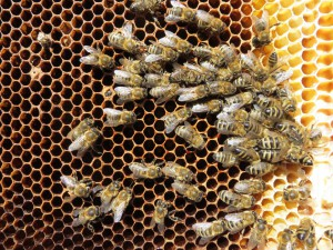 Tote Bienen auf einer Wabe