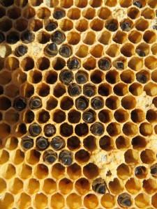 Waben mit toten Bienen