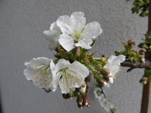 Kirschblüte April 2015