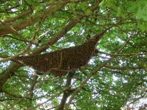 Bienenschwarm 02/2015 auf dem Riedberg