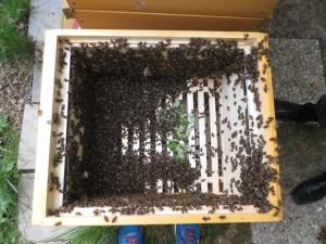 Leerzarge mit eingeschlagenem Bienenschwarm