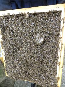 Deckelunterseite mit Schwarmbienen und begonnenem Wabenbau