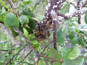 Restliche Bienen vom Schwarm 04/2015 am Kätcheslachweiher. Die weißen Flecken sind Bienenwachs