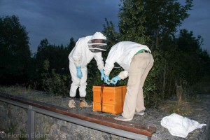 Ein am Kätcheslachweiher auf dem Riedberg gefangener Bienenschwarm, Name: Etappenschwarm, ist in seiner Beute, die für den Abtransport verschnürt wird