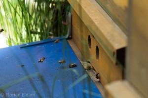 Bienen im Anflug zu ihrem Stock- Die gelben Punkte der anfliegenden Biene sind Pollenhöschchen an den Hinterbeinen.