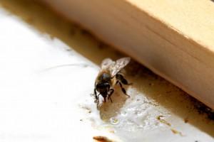 Einzelne Biene