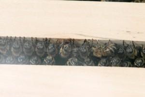 Bienen zwischen zwei Rahmen in der Wabengasse