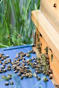 Anflug von Bienen