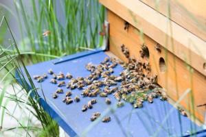 Anflugbrett mit vielen gelandeten Bienen