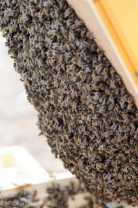 Bienen an den Unterkanten einer aufgeklappten Zarge