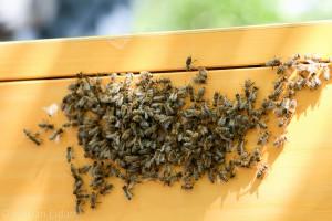 An der Außenwand anhaftende Bienen nach dem Einschlagen eines Schwarmes. Kurze Zeit später sind sie durch das Einflugloch in das Beuteninnere gezogen.