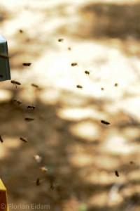 """Bienen im Anflug vor ihrer Beute. Beute = Bienenstock, ihre """"Wohnung"""""""