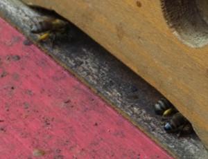 Pollenhöschen an heimkehrenden Bienen Ende Oktober 2015