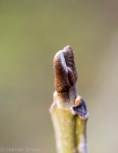 Leittrieb des Bienenbaumes, Euodia huphehensis