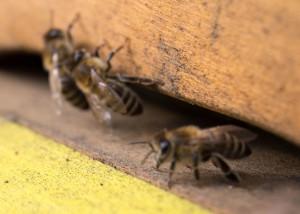 die ersten Bienen 201