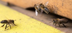 die ersten Bienen 2016