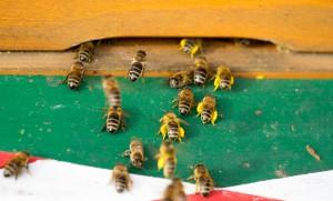 02.04.2016 Flugbetrieb. Bienen mit dicken Pollenhöschen