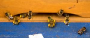 02.04.2016 Anfliegende Bienen zum Volk der Jugendgruppe