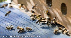 Zurückkehrende Bienen mit Pollenhöschen
