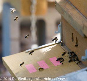 Bienen im Landeanflug