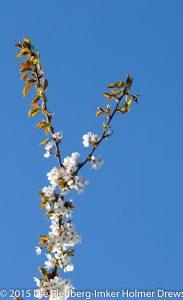 Kirschblüte auf unserer Streuobstwiese