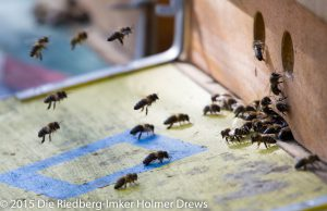 Landende Bienen vom Volk San Marco