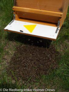 Bodenbienen als Schwarm