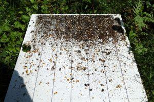 Varroaschieber (Windel) mit Gemüll und erkennbarer Kalkbrut