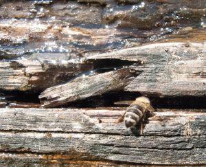 Bienentränke-