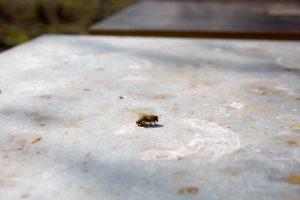 Biene mit Pollenhöschen an den Hinterbeinen