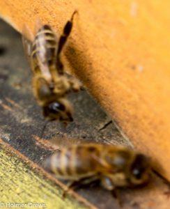 Bienen am 23.11.2016 bei 12 Grad Außentemperatur