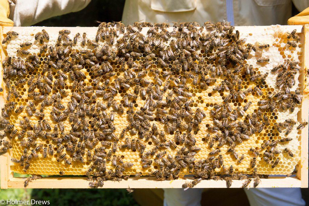 Brutnest vom Bienenschwarm Theo