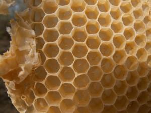 Auf dem Boden dieser Waben sind die Bieneneier zu erkennen. Teilweise stehen sie noch senkrecht, teils sind sie bereits etwas geneigt.