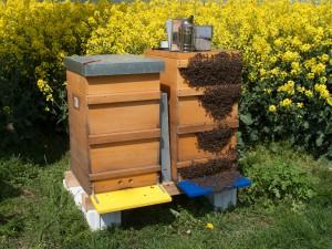 Ostern 2014: das im Bild rechte Volk ist außen voll besetzt mit Bienen (Bienenbart)