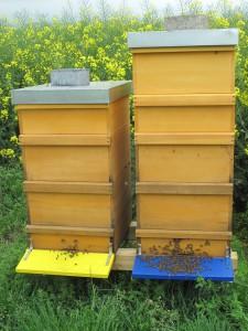 Der Honigraum des im Bild rechten Volkes (blaues Anflugbrett) war völlig leer. In den Bruträumen hingegen sind mehrere Waben voller Honig. Sie wurden nach ganz oben in einen 2. aufgesetzten Honigraum gehängt und durch Mittelwände ersetzt.