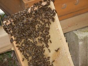 Völkerkontrolle durch die Neu-Imkergruppe: eine zur Seite gestellte Wabe mit Bienen und Honig