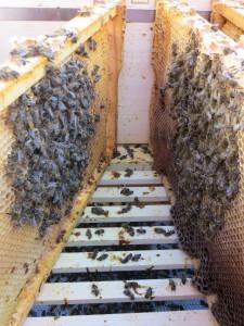 Zwei Seiten einer Wabengasse mit toten Bienen