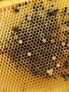 Tote Bienen in den einzelnen Waben