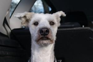 Silla - erster Imkerhund und erster Sapsaree in Deutschland und Europa