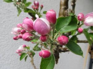 Apfelblüte April 2015