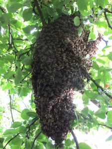 Bienenschwarm 01/2015 am 7.5.2015 im Apfelbaum auf der Streuobstwiese Riedberg