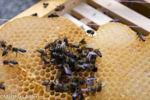 Bienen, die Honigreste aus einer Wabe aufnehmen bei den Riedberg-Imkern