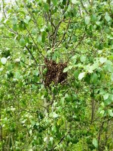 Riedberg, am Kätcheslachweiher: ein Bienenschwarm in seiner typischen Traubenform