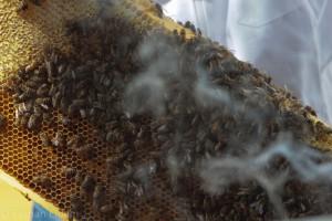 Was braucht der Imker als eines seiner Standardwerkzeuge? Richtig: Rauch. Bienen auf einem Rahmen.