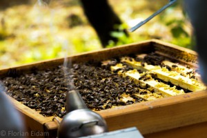 Eine geöffnete Bienenbeute mit dem Smoker, der den Rauch liefert.